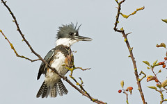 Belted Kingfisher (nickinthegarden) Tags: canada crescentbeach beltedkingfisher surreybc blackiespit