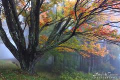 Foggy Autumn Morn (Larry W Brown) Tags: autumn virginia fallcolors mapletree hdr shenandoahnationalpark southriveroverlook