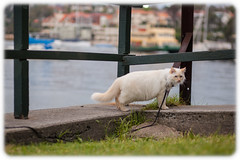Diesel Exploring Kurraba Point Reserve (Craig Jewell Photography) Tags: park grass cat diesel bokeh iso400 sydney 85mm australia f22 ragdoll 2014 flamepoint kurraba ef85mmf18usm 0ev canoneos5dmarkii sec 335043s1511323e filename20141013163953mg9425cr2