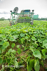 Cucumber harvest in Preston, Maryland, USA (Remsberg Photos) Tags: plants usa tractor farm cucumber harvest maryland machinery ag preston crops agriculture innovation pickle harvester industrious agriculturethings cucumberpicker
