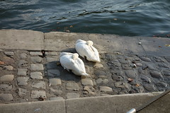 2014 - 10 - 09 - Japanese bride's as yet unknown destination (Mississippi Snopes) Tags: sleeping paris seine couple swans romantic sunnyday righteousbrothers unchainedmelody top1000