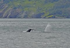 Whale's Tail (rotaandrea) Tags: park nature alaska america see whale kenai nord