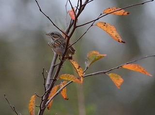 Lincoln's Sparrow With Fall Colors