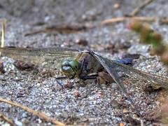 Blaupfeil Orthetrum cancellatum 1409080181_2_CO_ (Pixel-Cat) Tags: macro berlin insect dragonfly libelle insekt hdr libellulidae strausberg orthetrum blaupfeil btzsee segellibelle