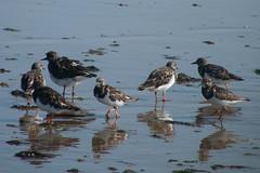 Cnclave Arenaria interpres (donseveriano) Tags: bird beach birds huelva playa aves andalucia panasonic ave pajaros pajaro puntadelmoral fz28