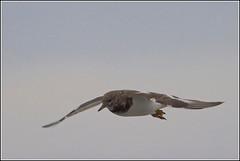 Steenloper (pietplaat) Tags: scheveningen vogels steenloper zuiderhavenhoofd pietplaat