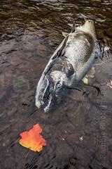 Death Don't Have No Mercy (Joe Janiak) Tags: death salmon flyfishing cycleoflife canon1022mm kingsalmon canon60d ramblephotography