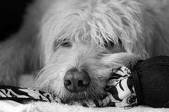 Sleepy Dog (ransomtech) Tags: sleeping blackandwhite dog toy soho sleepy labradoodle coby