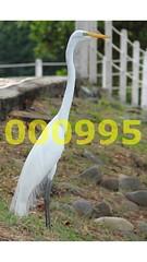 Flickr_000995 (mike_ho_htc) Tags: canon eos colombia alba jose great el ardea 7d egret girardot arboleda garza peñón ef24105mmf4lisusm josémarboledac freedomtosoarlevel1birdphotosonly freedomtosoarlevel1birdsonly