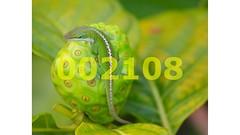 Flickr_002108 (mike_ho_htc) Tags: red white green leaves lines yellow fruit dof bokeh circles curves explore kauai gecko 50faves explorewinnersoftheworld 100commentgroup blinkagain blinkagainfrontpage bestofblinkwinners peggy2012creativelenz img0787p explore325jan182012