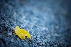 Day 71/365 : The Blue, the Yellow and the Autumn (Noticias del Mundo) Tags: day 71365 alemdagqualityonlyclub circolofotograficopaullese the365daysbokehproject ~jjjohn~jjjohn70giovanniorlandojjjohnorlandowwwgiovanniorlandoit canoneos5dcanonef135mmf2lusm italyitalialombardiabergamocrespicapriate135mmf2blurblurredbokehfoglialeafautumn httpjjjohnwordpresscom