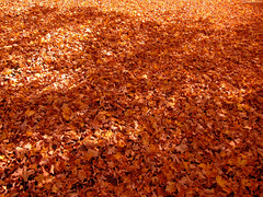 "Ground coated in Orange Maple leaves • <a style=""font-size:0.8em;"" href=""http://www.flickr.com/photos/34843984@N07/15424915462/"" target=""_blank"">View on Flickr</a>"