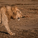 GD No. 14: Lion in the early morning sun #mara