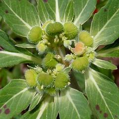 Euphorbia cuphosperma, picachalih, spurge 2 (Sue Carnahan) Tags: sonora mexico euphorbiaceae cananea sierradelosajos