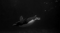 Into the abyss (Wildlife Online) Tags: bird water swim penguin marine underwater dive aquatic livingcoasts seabird swimmingpenguin macaronipenguin eudypteschrysolophus penguinunderwater marcbaldwin wildlifeonline penguinyellowhair