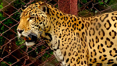Wild Life : Silently Plan Of Front Panther. (Jangra Works) Tags: forest den leopard rest hyderabad panther zoomed