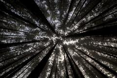 Foggy treetops [Explored] (Geir Yngve) Tags: wood morning trees light tree norway fog forest high treetops osyro hestelypa