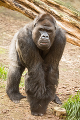 2014-09-17-10h48m12.BL7R7012 (A.J. Haverkamp) Tags: germany zoo gorilla rostock dierentuin gorgo westelijkelaaglandgorilla canonef100400mmf4556lisusmlens pobkrefeldgermany dob28061981 httpwwwzoorostockde