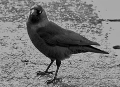 Jackdaw (standhisround) Tags: bw bird nature jackdaw