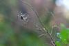 Centollo de la ria (David A.R.) Tags: david canon eos ar vigo fotografo padron araujo pontecesures grupal valga 40d kdd´s