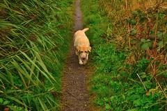 The Stalker (muckley2014) Tags: dog pets dogs nature liverpool nikon labrador retriever hale merseyside singletrack goldenlabrador halevillage southliverpool themersey