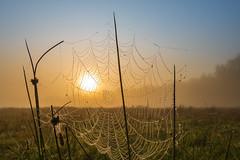 Spinnennetz bei Sonnenaufgang im Oktobernebel (Steppenwolf33) Tags: oktober germany nebel wiese sonnenaufgang gosen steppenwolf33