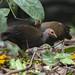 Tabon Scrubfowl - Palawan - Philippines_H8O0594