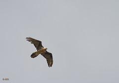 Gypaetus barbatus -Gypate barbu- (A. Eraso Keller) Tags: alpes gypaetusbarbatus gypatebarbu oiseauxdesmontagne