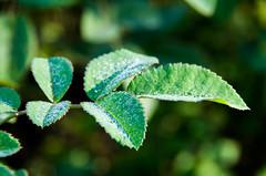 Dew on rose leaves (Susanne Hjertø Wiik) Tags: botaniskhageioslo dugg høst vanndråper årstid botaniskehager hageplanter naturlandskapnaturfenomen plantedeler steder tingfenomen vær bladverk