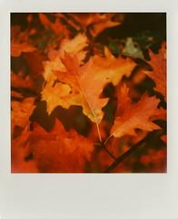 Oak Leaf (Joep Polaroid Photography) Tags: autumn fall netherlands instant slr680 bruch nofilter impossible 600film polaroidweek roidweek intergral joepimpossiblephotography joepgottemaker filmfor12price