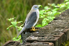 Shikra_02 (Jyotiprasads) Tags: birds commonbirds birdsofodisha odishabirds