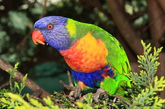 IMG_0062 (stewartk1970) Tags: canberra australia act birds wildlife parrots aviary lorikeet rainbow