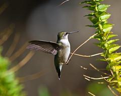 Ruby Throated Hummingbird (Denise Pelley) Tags: