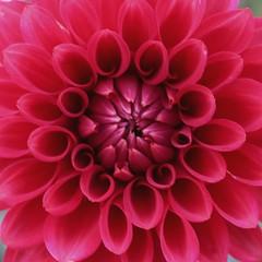 Red Dahlia (Read2me) Tags: flower macro red dahlia she cye yourock challengeclubwinner pregamewinner gamewinner thechallengefactory perpetualchallengewinner friendlychallenges challengegamewinner