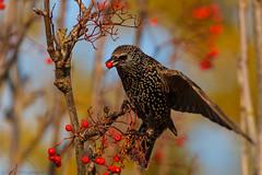 Stari - Sturnus vulgaris - Starling (nurdug2010) Tags: autumn tree fall berries starling reykjavik haust sland stari tr sturnusvulgaris iceand reyniber canoneos7d canonef100400mmlens gudrunhauksdottir nurdugh nurdugphotos