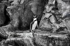 Penguin in B/W (Sukrid Sakolwijit) Tags: white black animal rock thailand zoo penguin nikon bangkok dusit