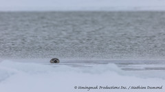 Ringed Seal inquiring-7845 (Mathieu Dumond) Tags: canada fall ice water swimming river mammal frozen october marine wildlife freezing seal nunavut ringed coppermine kugluktuk kitikmeot