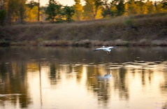 Pelican landing in sunset (Kay Martinez) Tags: sunset lake reflection bird fall canon flying pelican landing 5d ef135mmf20