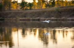 Pelican landing in sunset (Kay Martinez) Tags: sunset lake reflection bird fall canon flying pelican landing 5d ef135mmf20