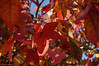 red leaves (picturesbywalther) Tags: autumn red color fall nature colors leaves herbst natur blatt blätter leav