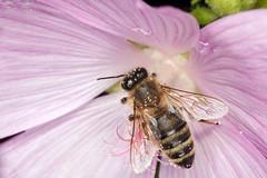 Successful Pollination - _TNY_6340 (Calle Sderberg) Tags: macro canon canon5dmkii canonef100mmf28usmmacro canoneos5dmarkii raynox dcr250 yn14ex yongnuo ringflash flash insect flower bee europeanhoneybee honeybee apis mellifera pollen pink pollinating apoidea apidae bi honungsbi lngtungebi