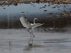 Great egret () (Greg Peterson in Japan) Tags: egretsandherons shiga birds wildlife deba japan yasugawa ritto rivers shigaprefecture jpn
