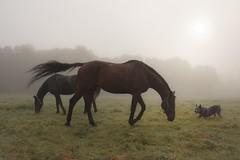 Autumn time (frantiekl) Tags: horses a11 dog australiancattledog animals autumn fog dawn daybreak morning sun friends game blovice czechrepublic