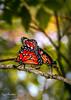 Butterfly in love (Rodrigo Geraldini) Tags: butterfly borboletas biologia natureza insetos inlove love amor sexo especial macro closeup geraldini tujuguaba sitio conchal flickr instagram vsco nikon nikonl820