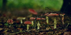The world is a fairy tale; we are its guardians. (Pics4life.nl) Tags: mushroom wood forest colorful fairytale bos herfst autumn fall vlieggenzwammen fliegenpilze fungi scene herbstszene hstplats escena de otoo