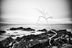 the return of the white tree (hbphototeach) Tags: whitetree beanhollow beanhollowstatebeach pescadero bayarea california seascape landscape landscapephotography blackandwhite blackandwhitephotography longexposure hwy1 pacificcoasthwy createdlandscape overcast softlight