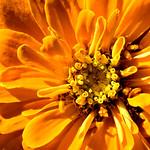 Zinnia zoom thumbnail