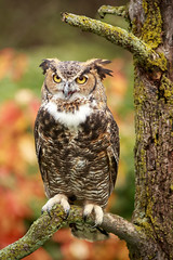 Great Horned Owl (2016_10_16_32087e) (Tom of Fenton) Tags: howellnaturecenter howellmichigan howell michigan greathornedowl owl autumn fall preditor color birdsofprey