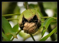 Walnuss (karin_b1966) Tags: nuss nut baum tree bltter leaves garten garden natur nature 2016 walnuss walnut yourbestoftoday