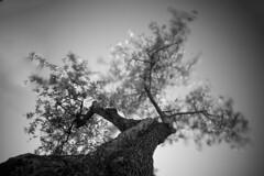 Olive Dance ([Alan]) Tags: tree italy italia sardinia sardegna nature long exposure longexposure movement blackandwhite black white bw
